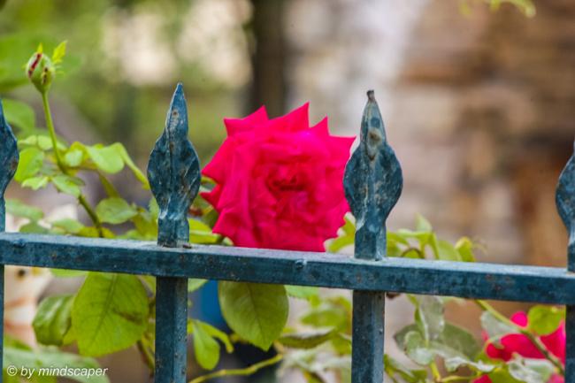 Rose in a Garden in Mistraki
